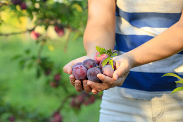 Woman holding ripe plums in garden