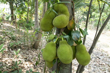Jackfruit background on a tree.