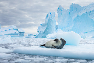 Staande foto Antarctica Crabeater seal resting on pack ice between icebergs, freezing sea, Antarctica