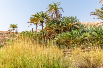 Date palm trees in the oasis of Wadi Bani Khalid in Oman