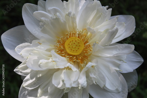 Close Up Macro Top Of White Lotus Flower On Black Background Stock