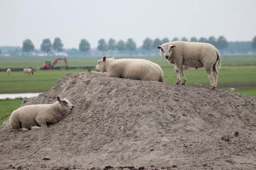 Sheeps playing in meadow in pile of sand in the Netherlands.