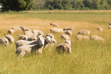 Baby sheep farm over green glass field, farming animal