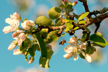 Bee collecting nectar from blooming white apple trees. Beautiful spring apple tree against blue sky
