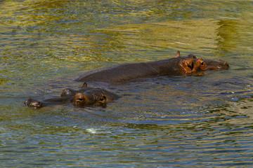 Large Hippopotamus (Hippopotamus Amphibius) bathing in water. Outdoor in summer.
