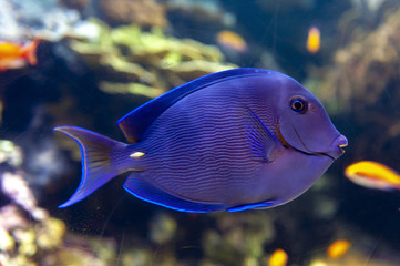 Blue tang (Acanthurus coeruleus), a surgeonfish or Atlantic blue tang, blue barber, blue doctor, blue doctorfish, yellow barber, and yellow doctorfish, found in Atlantic Ocean