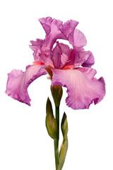 pink iris flower isolated on white background