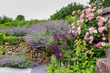 Colorful purple pink garden, with rose and salvia