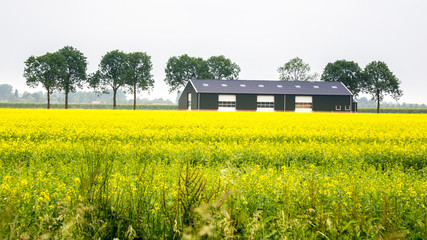 Landscape with rapeseed field, row of trees and a modern industriial barn