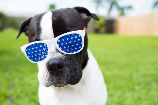 cute black and white dog wearing red white and blue glasses for july 4th