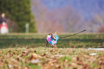 Hübsche kleine dog spaziert. Helle Farbe, scharfes Foto. Hunderasse Russkiy Toy.