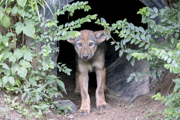 6 Week old baby Red Wolf (Canis rufus) - Male
