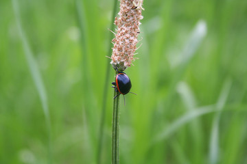 Black and red ladybug in a meadow. Oenopia conglobata