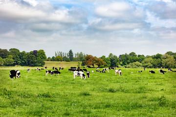 Dairy cows grazing in open grass field of farm