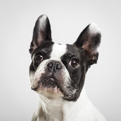Studio portrait of an expressive French Bulldog dog against neutral background