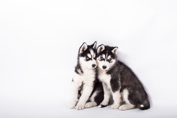 beautiful husky puppies on white background