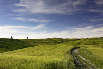 View of path through wheat fields with cyprus trees on the hills around San Quirico in the Val D'Orcia in Tuscany