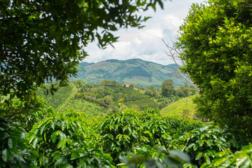 Beautiful coffee plantation in Jerico, Colombia in the state of Antioquia.