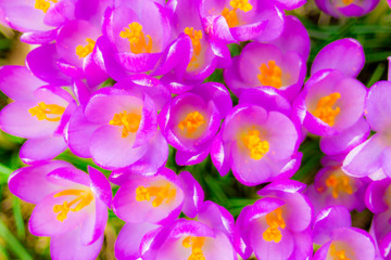 Crocus, plural crocuses or croci in pink, violet, yellow end etc., close-up crocus