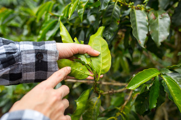 Hands showing coffee leafs on coffee plantation in Jerico, Colombia in the state of Antioquia.
