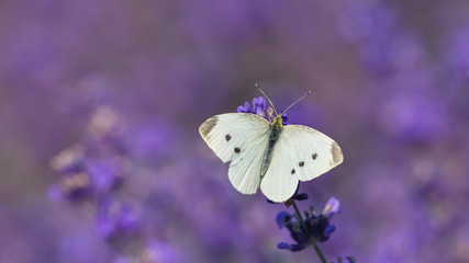white butterfly on a lavender field flower