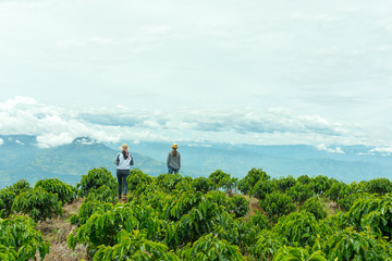 Workers on beautiful coffee plantation in Jerico, Colombia in the state of Antioquia.