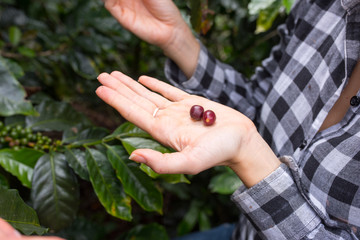 Hands showing coffee beans on a coffee plantation in Jerico, Colombia in the state of Antioquia.