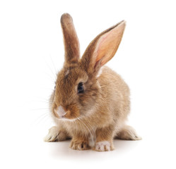 One small brown rabbit.
