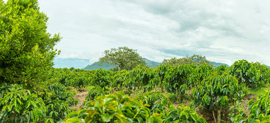 Colombian coffee plantation
