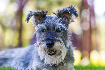horizontal portrait of dog, miniature schnauzer.  Senior dog with soft bokeh background