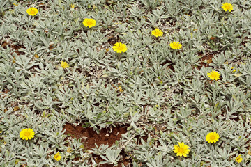 Close up background of spontaneous branching of succulent plant with yellow flowers