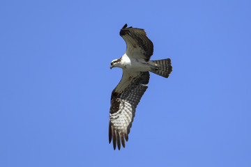 Osprey soars above Fernan Lake, Idaho.
