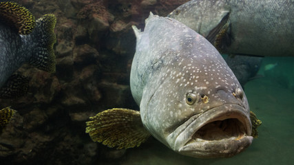 The Giant grouper.