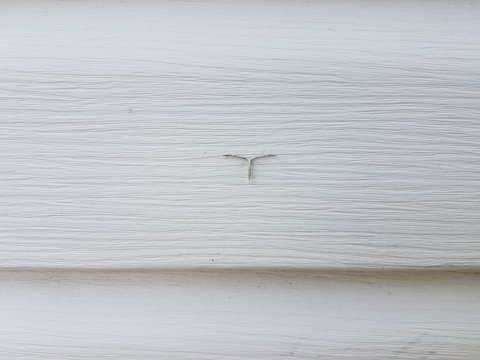 white plume moth on white house siding