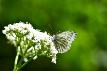 Beautiful European Large Cabbage White butterfly (Pieris brassicae) feeding on a flower in the field.