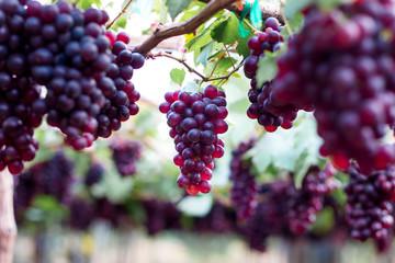 purple organic fruit in vineyard . bunch of ripe fresh grape at nature garden to make wine or juice . Fototapete