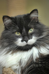 portrait of a white fluffy mustache of a fluffy cat