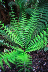 A young man fern, aka soft tree fern (Dicksonia antarctica), in the Great Otway National Park, Victoria, Australia.