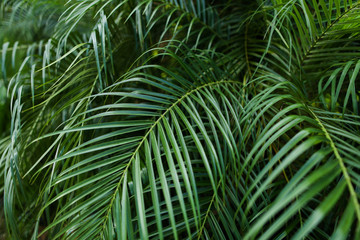 Palm green big foliage background photo. Concept of flora in rainforests. Wall mural