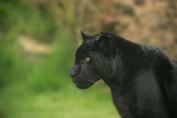 Printed roller blinds Panther Beautiful portrait of black panther panthera pardus in colorful landscape
