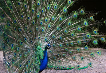 Peacock with his feathers spread, facing the right side of the photograph close up