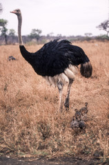 Ostrich (Struthio camelus), Kruger National Park, Mpumalanga, South Africa