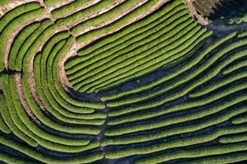 Aerial photography mountain tea plantation