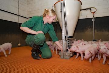 Futterhygiene in der Schweinehaltung, junge Frau kontrolliert Futterautomaten in der Ferkelbucht