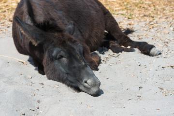 Esel liegt faul im Sand und ruht sich aus