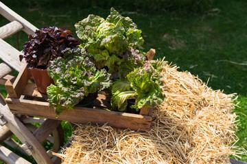 Salat-Präsentation auf einem Strohballen