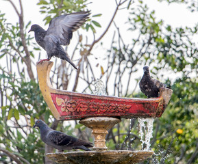 Pigeons drink from the decorative fountain.