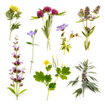 Set of herbs isolated on white background. Plants are used in medecine, with their help treat various diseases both in humans and animals