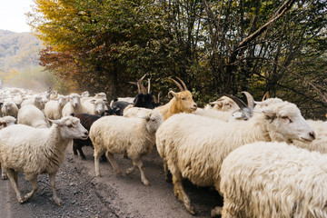 on a rustic road past the trees there is a herd of white and gray sheep