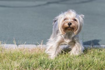 hire Terrier posing an grass. Yorkie Dog
